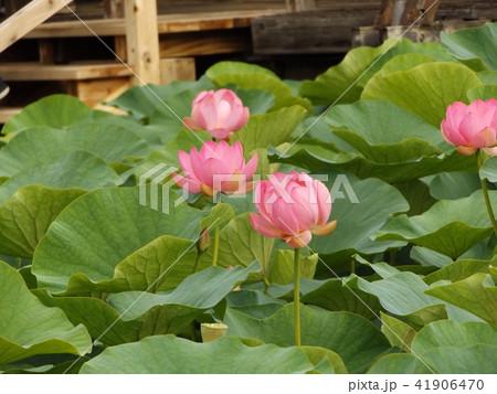 千葉公園のオオガハスの桃色の花 41906470