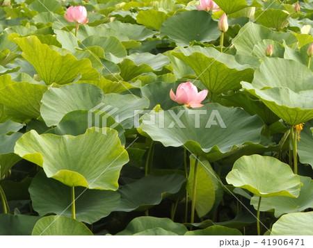 千葉公園のオオガハスの桃色の花 41906471