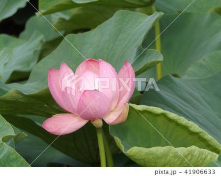 千葉公園のオオガハスは桃色の花 41906633