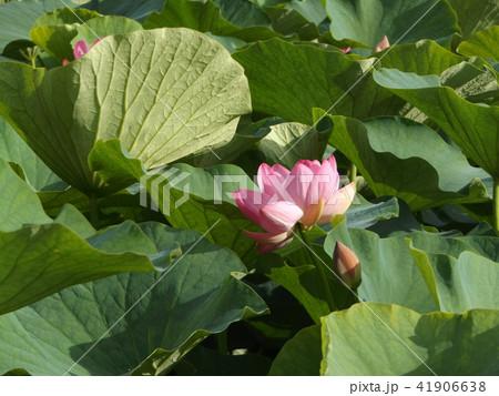 千葉公園のオオガハスは桃色の花 41906638