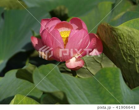 千葉公園のオオガハスは桃色の花 41906643