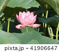 千葉公園のオオガハスは桃色の花 41906647