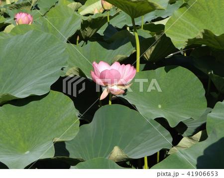 千葉公園のオオガハスは桃色の花 41906653