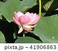 千葉公園のオオガハスは桃色の花 41906863