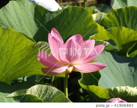 千葉公園のオオガハスは桃色の花 41906865