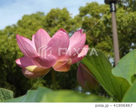 千葉公園のオオガハスは桃色の花 41906867