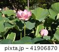 千葉公園のオオガハスは桃色の花 41906870