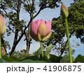 千葉公園のオオガハスは桃色の花 41906875