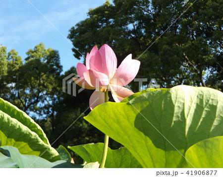 千葉公園のオオガハスは桃色の花 41906877