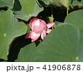 千葉公園のオオガハスは桃色の花 41906878