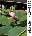 千葉公園のオオガハスは桃色の花 41906880