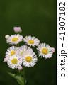 雑草 薄ピンク 花の写真 41907182