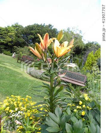 透かし百合の仲間のオレンジの花 41907707
