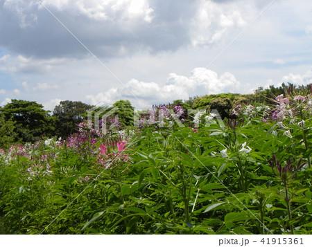 酔蝶花と呼ばれるクレオメの白と紫色の花 41915361
