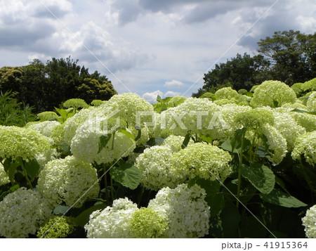 ハイドランジアアナベルというアジサイの白い花 41915364