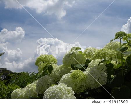 ハイドランジアアナベルというアジサイの白い花 41915366