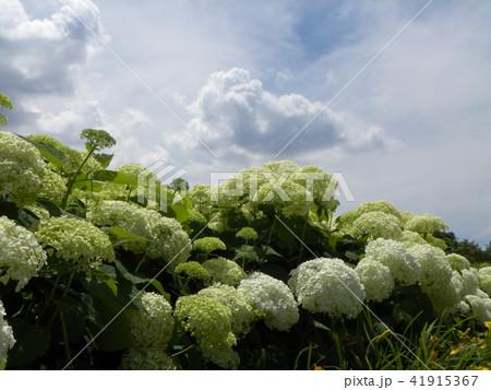 ハイドランジアアナベルというアジサイの白い花 41915367
