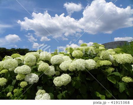 ハイドランジアアナベルというアジサイの白い花 41915368