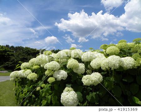 ハイドランジアアナベルというアジサイの白い花 41915369