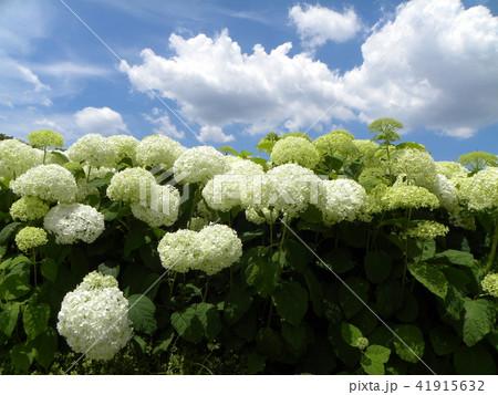 ハイドランジアアナベルというアジサイの白い花 41915632