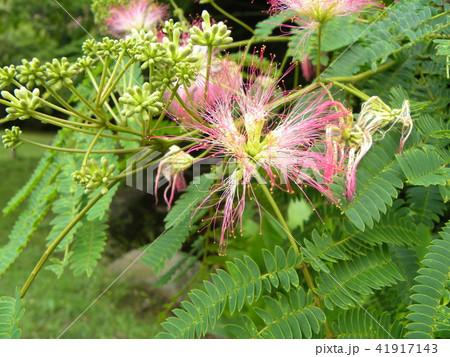 ネムノキの花の写真が撮れました 41917143