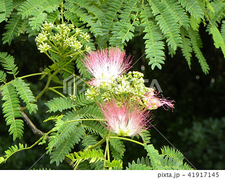ネムノキの花の写真が撮れました 41917145