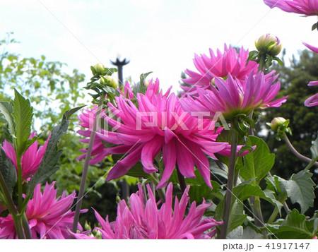 セミカクタスダリアの桃色の花 41917147