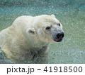 白くまの水浴び 41918500