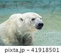 白くまの水浴び 41918501