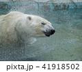白くまの水浴び 41918502