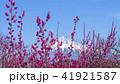 富士山 花 梅の写真 41921587