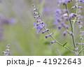 ロシアンセージ 41922643
