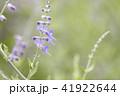 ロシアンセージ 41922644