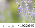 ロシアンセージ 41922645