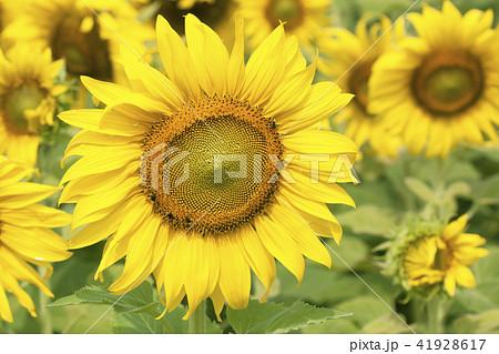 Sunflower field landscape 41928617