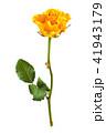 バラ 花びら 黄色いの写真 41943179