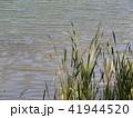 水辺の草 41944520