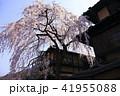 3月 京都東山の産寧坂(三年坂)の枝垂桜 41955088
