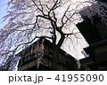 3月 京都東山の産寧坂(三年坂)の枝垂桜 41955090