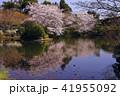 3月  龍安寺鏡容池の桜 -京都の春- 41955092