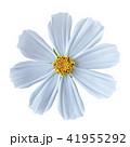 フラワー 花 コスモスの写真 41955292