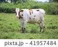 牛 41957484