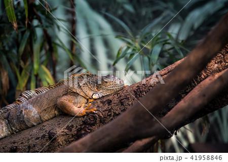木の上で擬態するイグアナ 41958846