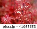 葉っぱと雫 赤 環境 イメージ 41965653