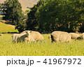 ひつじ ヒツジ 羊の写真 41967972