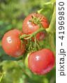 畑のトマト 41969850