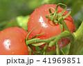畑のトマト 41969851