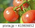 畑のトマト 41969852