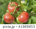 畑のトマト 41969853