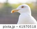 カモメ 鳥 野鳥の写真 41970518